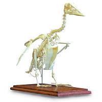 Модель серого гуся (Anser anser)