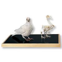 Модель скелета и чучела голубя (Columba palumbus)