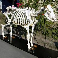 Модель скелета коровы (Bos Taurus)