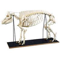 Модель скелета свиньи (Sus scrofa)