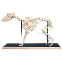 Модель скелета собаки (Canisdomesticus)