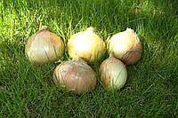 Лук озимый Балстар F1/ Balstar F1 Seminis 0,5 кг семян
