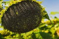 Гібридне Насіння Соняшника Аламо Ф1