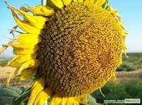 Гібридне Насіння Соняшника Форвард