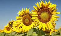 Гібридне Насіння Соняшника Оліберд від LABOULET SEMENCES,Франция