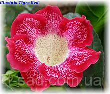 Глоксиния Tigre Red (Тигровая Красная)