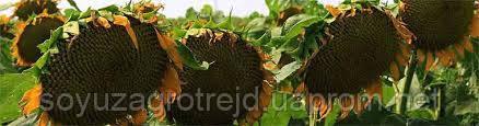 Прометей насіння соняшнику сорт