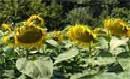 Жалон гібрид соняшнику