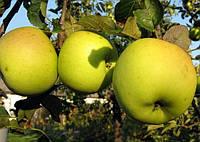 Саженцы яблони Богемия Голд ( М-9)