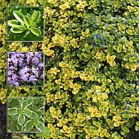 Тимьян лимоннопахнущий Doone Valley (Thymus citriodorus), контейнер 0,5 л