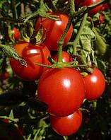 Семена томата детерминантного Трибека F1 Hazera 1 000 шт