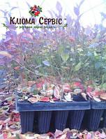 Саженцы голубики в мультиплатах, 6 мес., 170 мл., h 15-20 см., фото 1