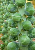 Капуста брюссельская Диабло F1/Diablo F1 Bejo 2500 семян