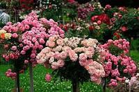 Штамбовая роза в ассортименте