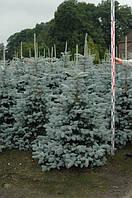 Ель колючая Эрих Фрам (Picea pungens Erich Frahm)