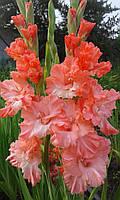 Гладиолус Розовый фламинго 1 разбор (от 3 см и выше)