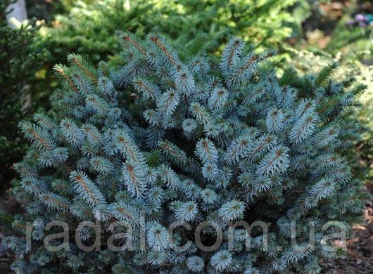 Ель ситхинская Силберцверг (Picea sitchensis Silberzwerg)