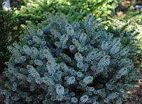 Ель ситхинская Силберцверг (Picea sitchensis Silberzwerg), фото 1