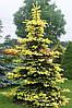 Ель Maigold ( Picea pungens Maigold )