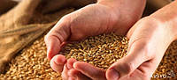 Пшеница нового урожая 2016 Срочно Продам