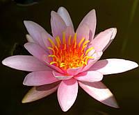 Нимфея (кувшинка, водяная лилия) розовая