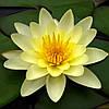 Нимфея (кувшинка, водяная лилия) лимонная