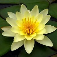 Нимфея (кувшинка, водяная лилия) лимонная, фото 1