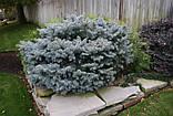 Ялина колюча Глаука Глобоза С5 (Picea pungens Glauca Globosa), фото 3