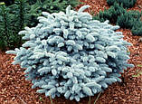 Ялина колюча Глаука Глобоза С5 (Picea pungens Glauca Globosa), фото 2
