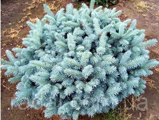 Ель колючая Глаука Глобоза С5 (Picea pungens Glauca Globosa)