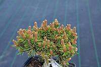 Сосна горная Тайлер (Pinus mugo Tyller)