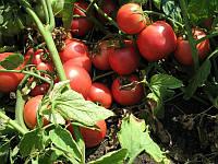 Томат Тарпан F1 10 семян
