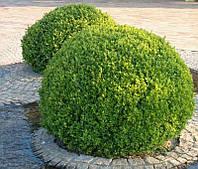 Саженец самшита вечнозеленого