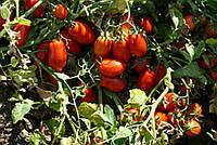 Семена томата детерминантного Харди F1 Lark Seeds 5 000 шт