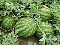 Семена арбуза Султан F1, 1000 шт, Lark Seeds