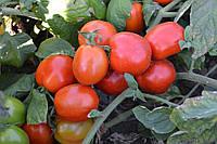 Семена томата детерминантного Грандо F1 Lark Seeds 5 000 шт