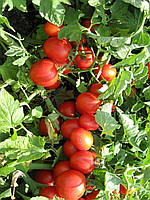 Семена томата детерминантного Боцман F1, от 1000 шт, Lark Seeds