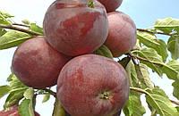 Саженцы яблони Вильямс Прайд ( М-9)