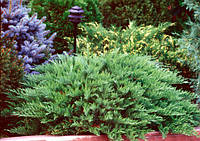 Можжевельник казацкий «Tamariscifolia» 25-40 см, 3-летки