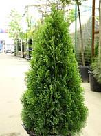 Туя западная «Smaragd» 25-30 см