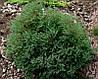 Туя западная вересковидная «Ericoides» 15-25 см