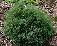 Туя западная вересковидная «Ericoides» 15-25 см, фото 1