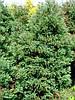 Туя западная вересковидная «Ericoides» 70-100 см