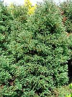 Туя западная вересковидная «Ericoides» 70-100 см, фото 1