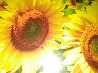 Семена подсолнечника дарий