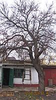 Обрезка фруктовых деревьев .