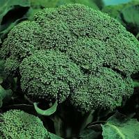 Семена капусты брокколи Румба F1. Упаковка 2 500 семян. Производитель Clause