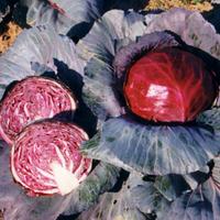 Семена капусты краснокачанной Фуэго F1. Упаковка 2 500 семян. Производитель Clause