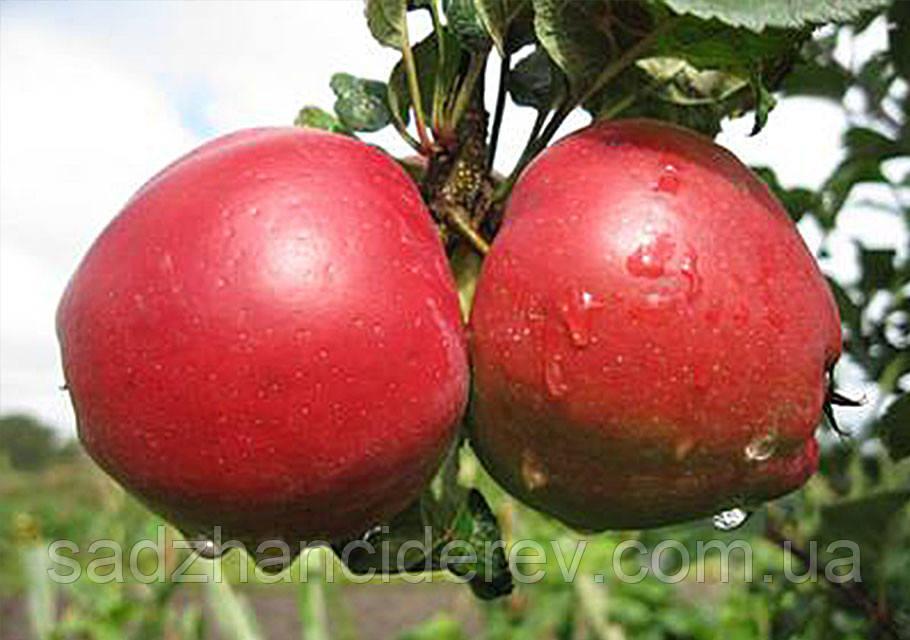 Саджанці яблунь Едера