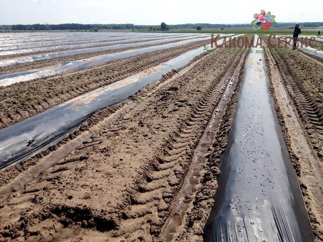 Фото нарезанных рядов для посадки, плантация малины